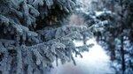 priroda-eli-sosny-zima-sneg.jpg