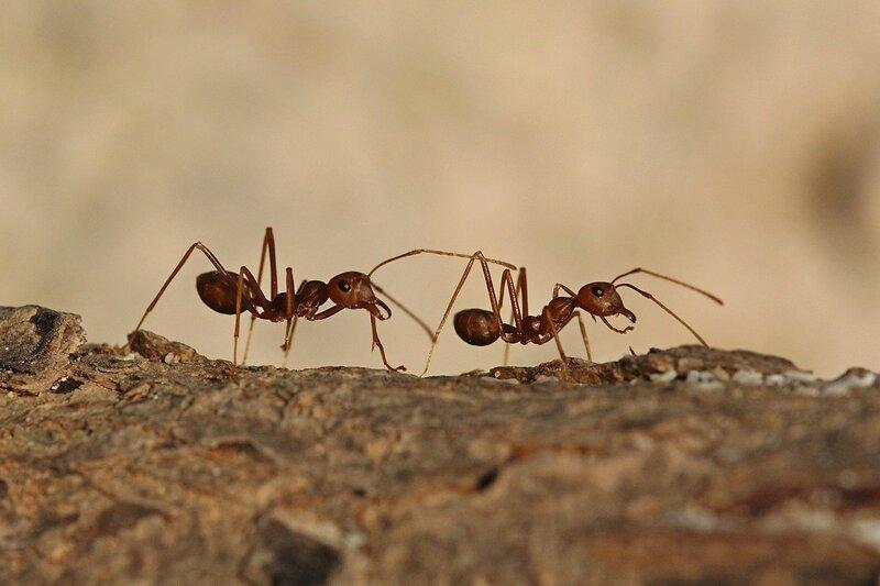 Длинноногие муравьишки на стволе дерева на пляже в Таиланде