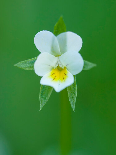 Фиалка полевая (Viola arvensis) Автор фото: Владимир Брюхов