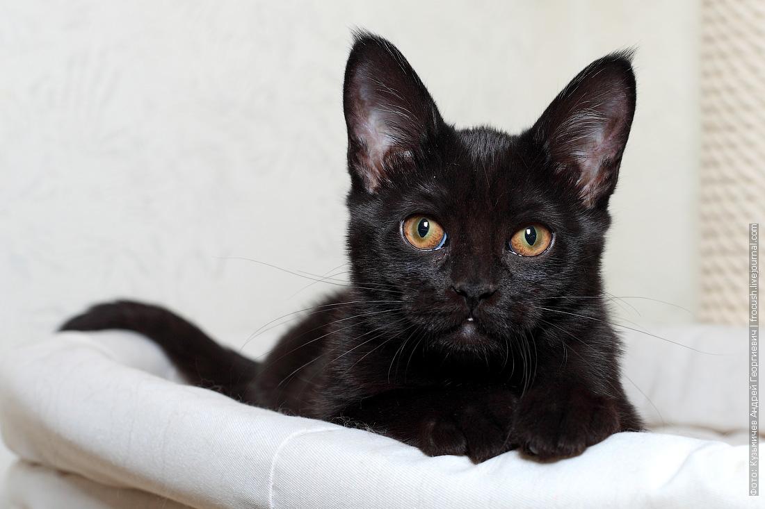 Бомбейка кошка