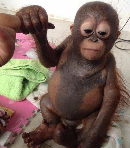 детеныш орангутана Буди
