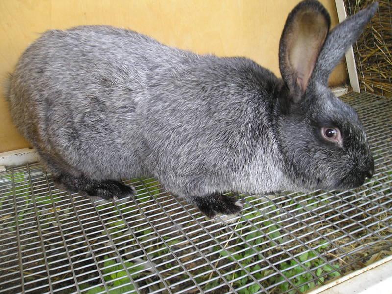 лучшие мясные породы кроликов