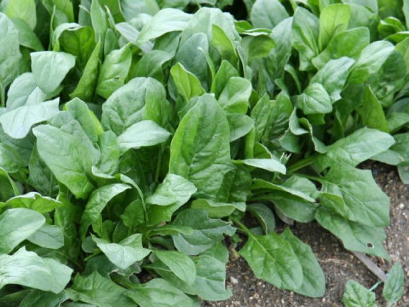 шпинат выращивание и уход