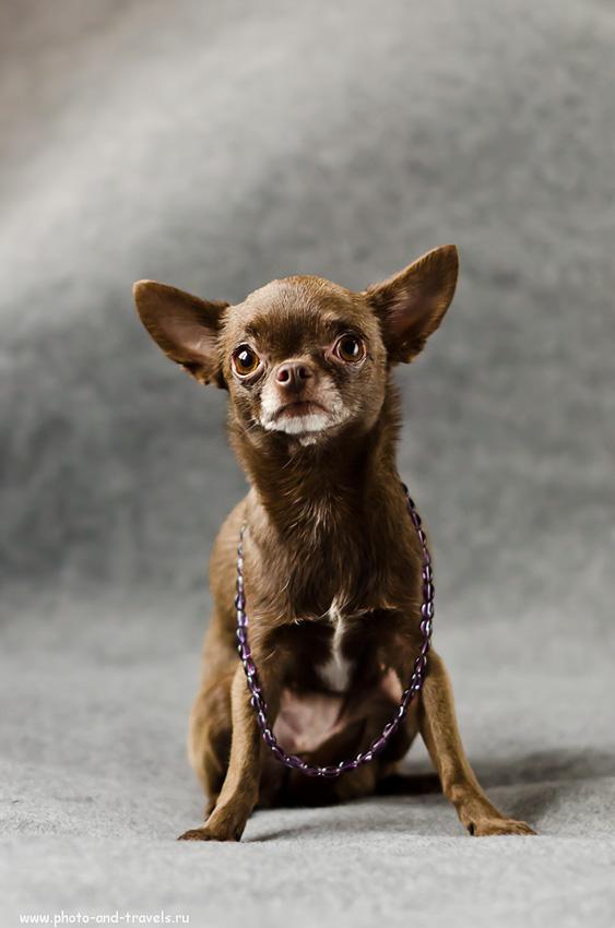 Фото 9. Уроки фотографии для начинающих фотолюбителей. Как фотографировать собаку. Мне данный снимок, с точки зрения эмоциональности, нравится больше всего. Хотя, видим, что неравномерный фон портит картинку. (настройки зеркалки те же). Примеры фото на Nikon D5100 + портретный фикс Nikon 50mm f/1.4G.