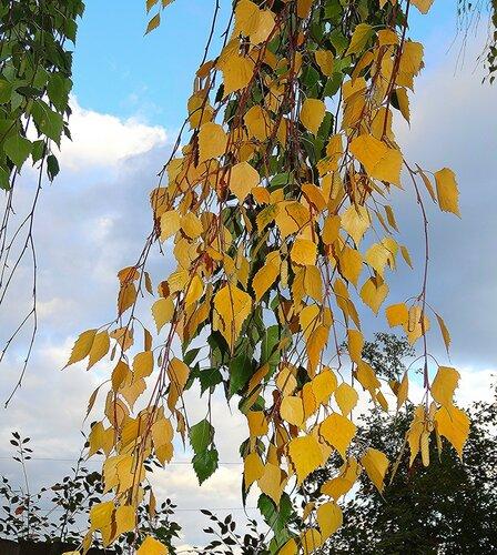 Осенняя прядь березы