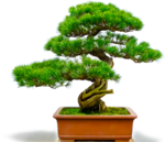 bonsai_tree.png