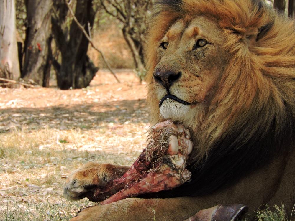 lions19.jpg