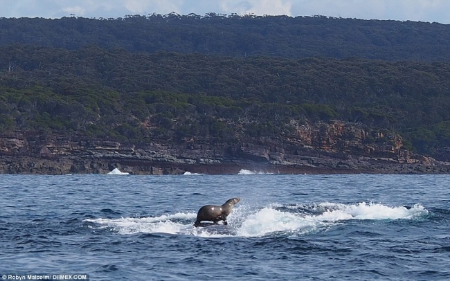 Тюлень рассекает наспине кита, как надоске для сёрфинга.