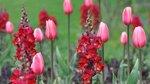 Фанфан - тюльпан _095.jpg