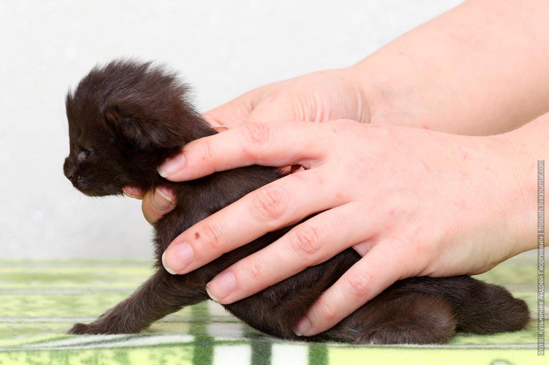 питомник в Москве купить черный котенок Мейн-кун