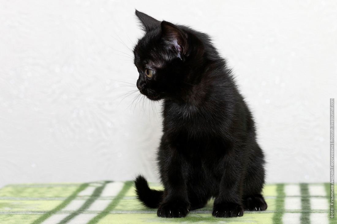 бомбейский котенок купить в Москве