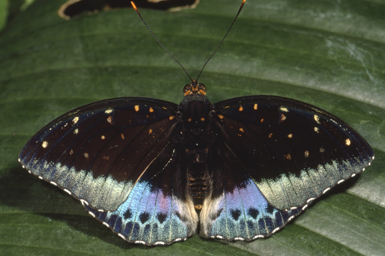 Эрцгерцог (Lexias Pardalis dirteana)