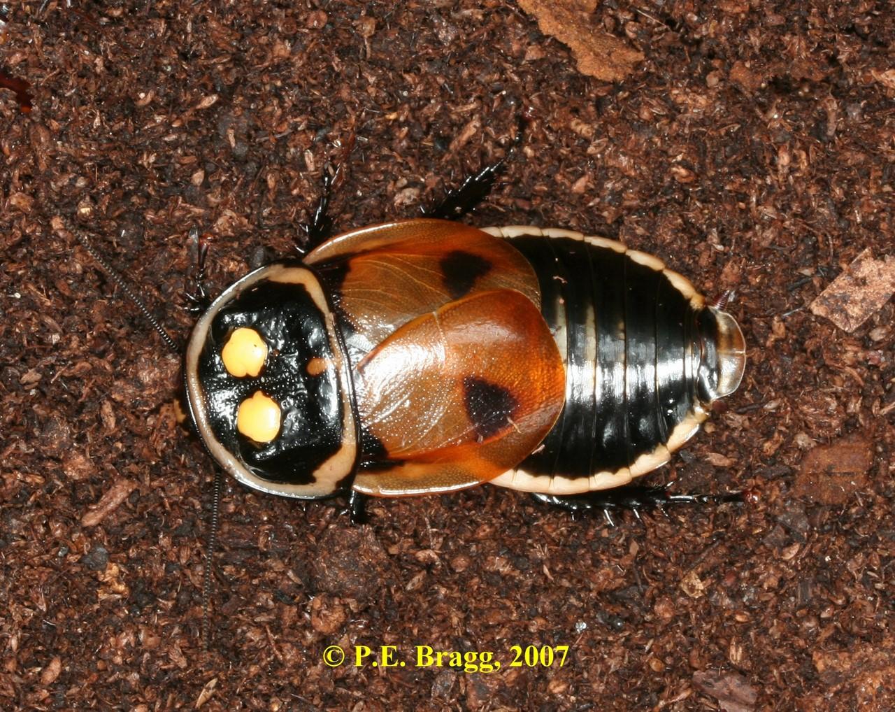 Светящийся таракан насекомых, тараканов, светящихся, тараканы, luckae, таракан, видов, только, среди, Ученые, обнаружили, явление, встречается, новый, вспомнить, которые, животных, Lucihormetica, наземных, используют