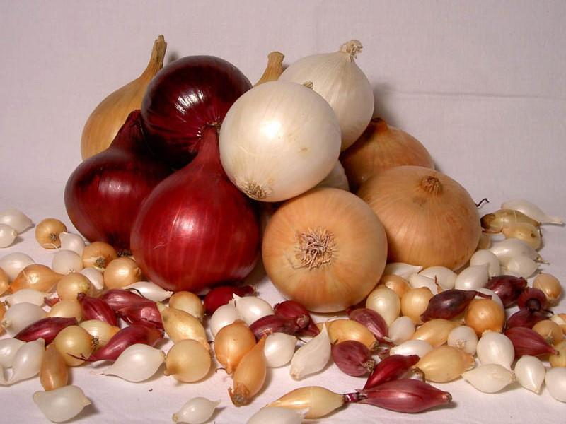 озимый лук севок