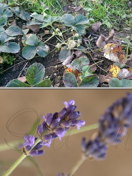 Клубника и лаванда в ноябре