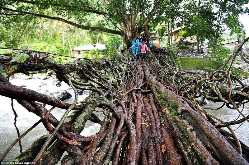 Мост из корней деревьев, на строительство которого ушло 26 лет. Местные жители просто направляли корни в нужном направлении.