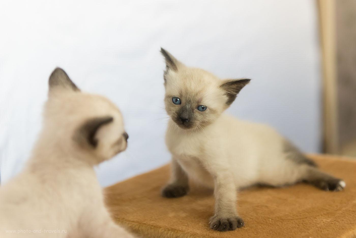 Фотография 10. Не понравился (пример фото кота на зекальный фотоаппарат Nikon D610 с объективом Nikkor 24-70/2.8. Параметры съемки в домашней фотостудии: 800, 70, f/2.8, 1/800)