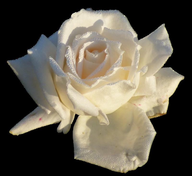 Анимация белые розы на прозрачном фоне, эта