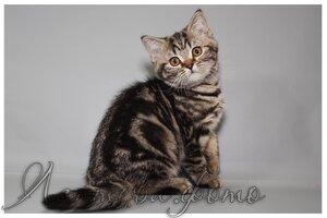 черный мраморный британский короткошерстный кот