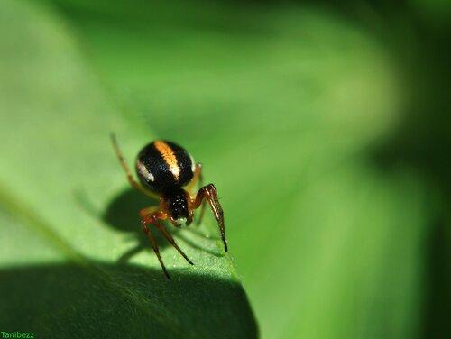 Гипсосинга карликовая / Hypsosinga pygmaea