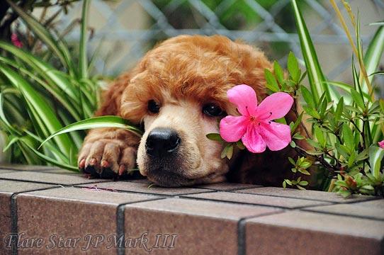 スタンダード・プードル (スタンプー) 子犬 (仔犬) L'Etoile du Berger 家庭名 ヴェネラ レッド アプリコット 雌 (牝 メス ♀) ブリーダー 福岡