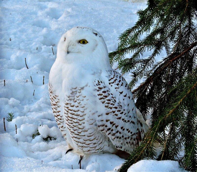 Сама Белая сова