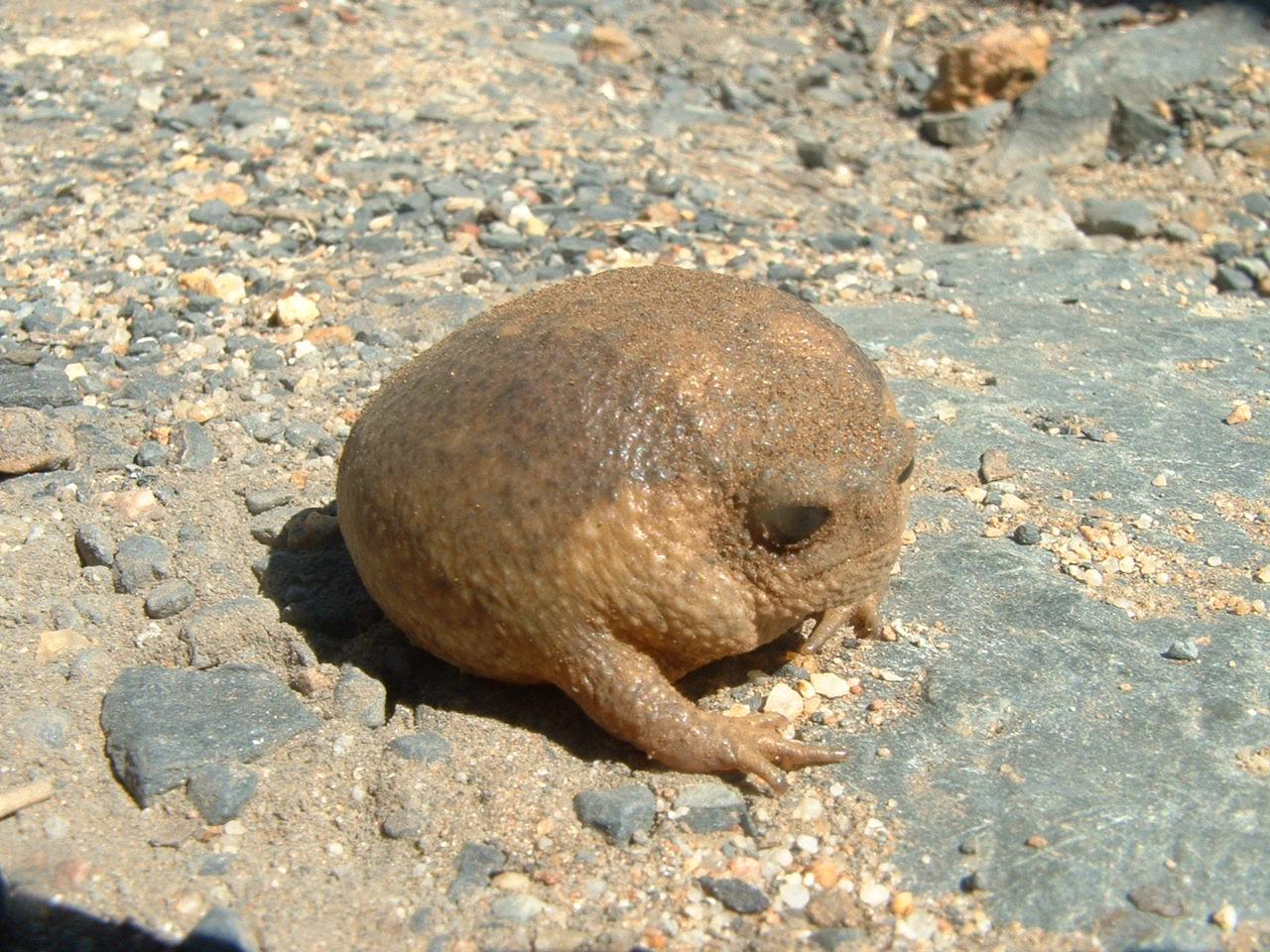 Угрюмая лягушка
