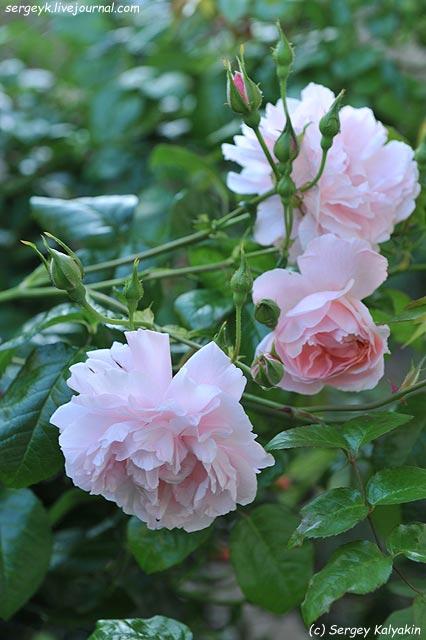 Rosa Strawberry Hill.JPG