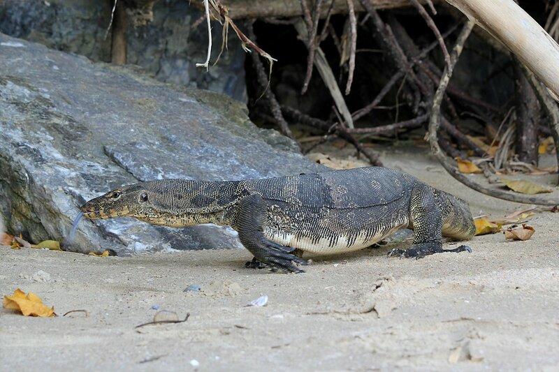 Полосатый варан (Varanus salvator) - большая ящерица на пляже Pai Plong Beach (Ао Нанг, провинция Краби, таиланд)