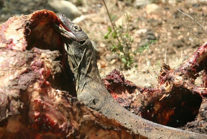 Комодский варан охотится на оленя и заживо съедает его