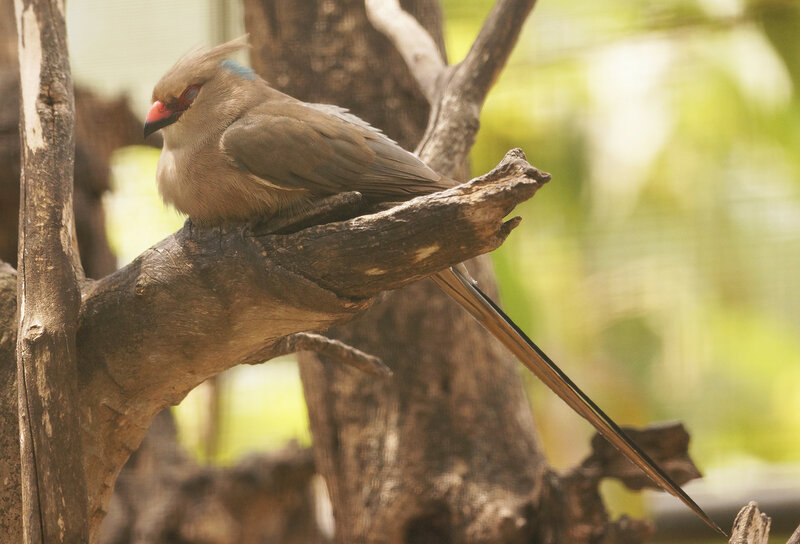 Синешапочная птица мышь The blue-naped mousebird (Urocolius macrourus)