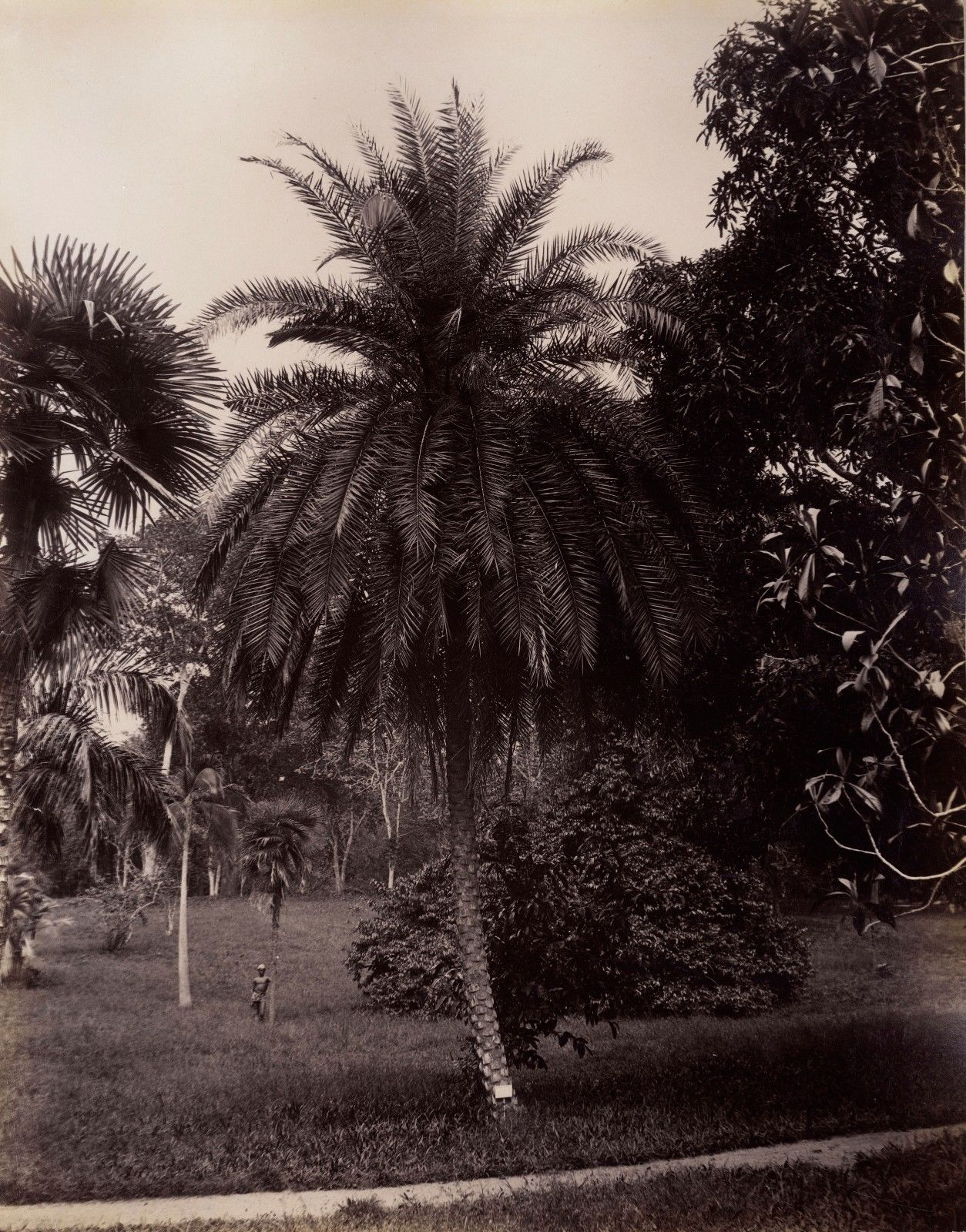 Коломбо. Деревья в окрестностях города. 1880