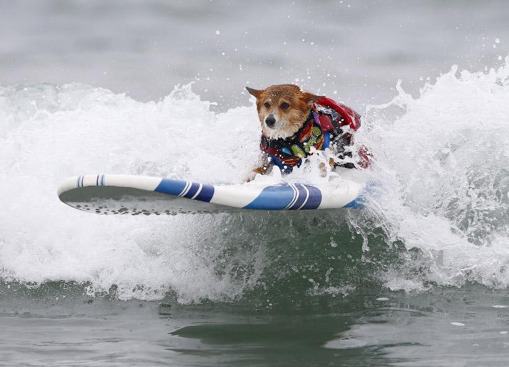 Собачий серфинг в Калифорнии 2015 (17 фото)