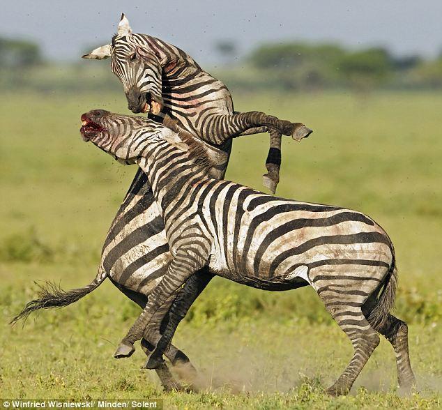 4. Зебра против зебры. Вот так думаешь, что зебры – безобидные полосатые лошадки, мирно пасущиеся в