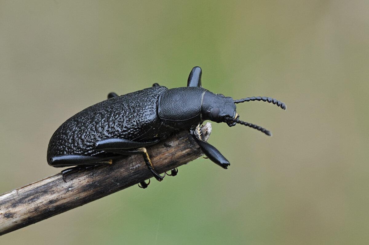 Чернотелка лесная - Upis ceramboides (Tenebrionidae: Tenebrioninae). Автор фото: Владимир Брюхов