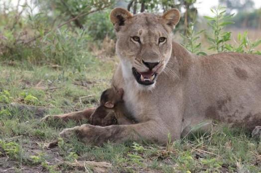 Львица оставила в живых детеныша бабуина 0 11e70a 802c75ab orig