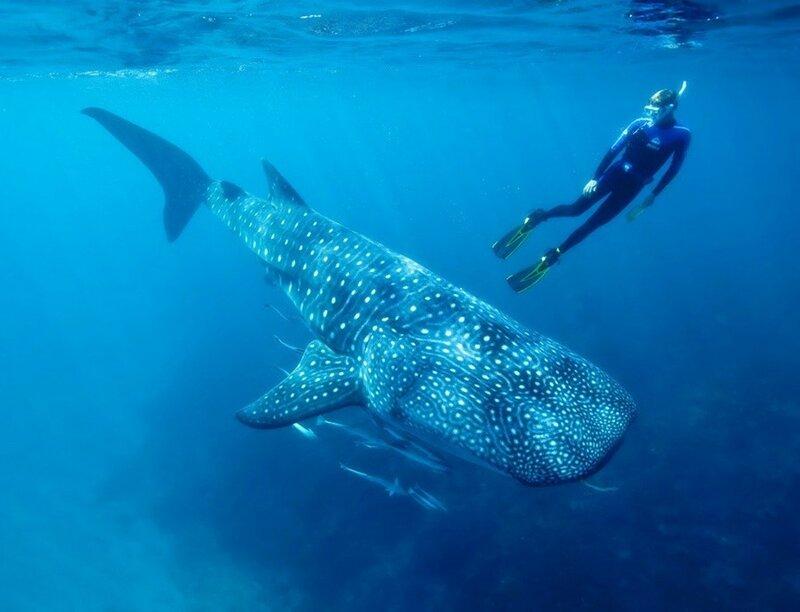 Самая большая рыба в мире   китовая акула