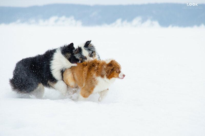 Мои собаки: Зена и Шива и их друзья весты - Страница 6 0_a7744_a2e024a8_XL