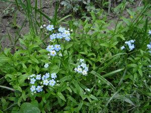 s:травянистые,c:голубые,лепестков 5,околоцветник актиноморфный,околоцветник сростнолепестный