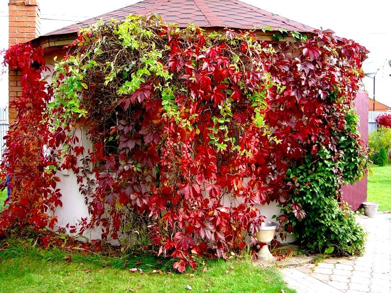 Когда сажать девичий виноград на даче 7