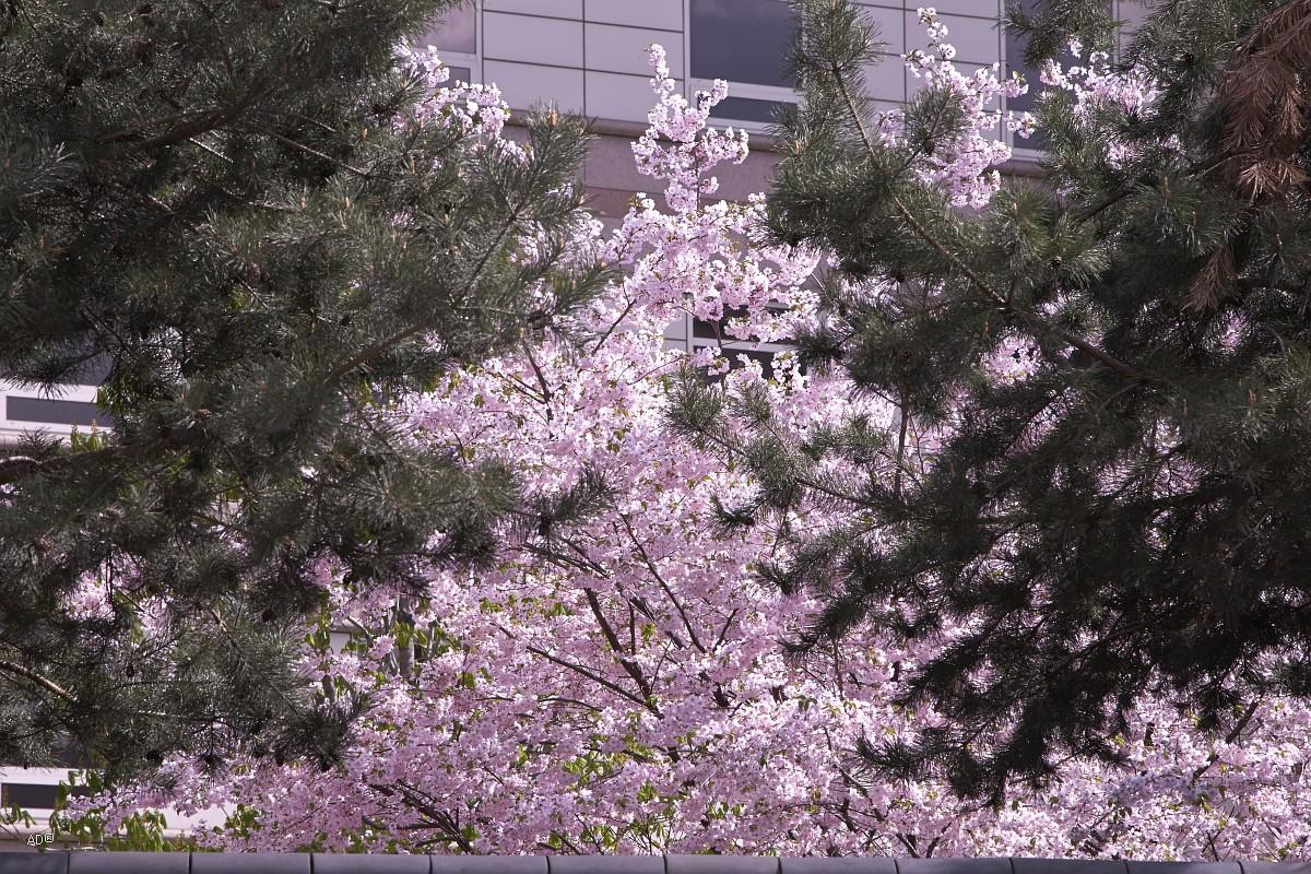 Сакура в объятиях ель