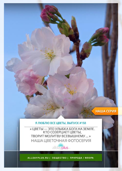 Я люблю все цветы, выпуск 158 | Сакура — «традиционный символ женской молодости и красоты».