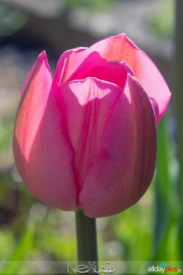 Я люблю всеb50 цветы, выпуск 163 | Тюльпаны «Don Quichotte» и «Libretto Parrot».