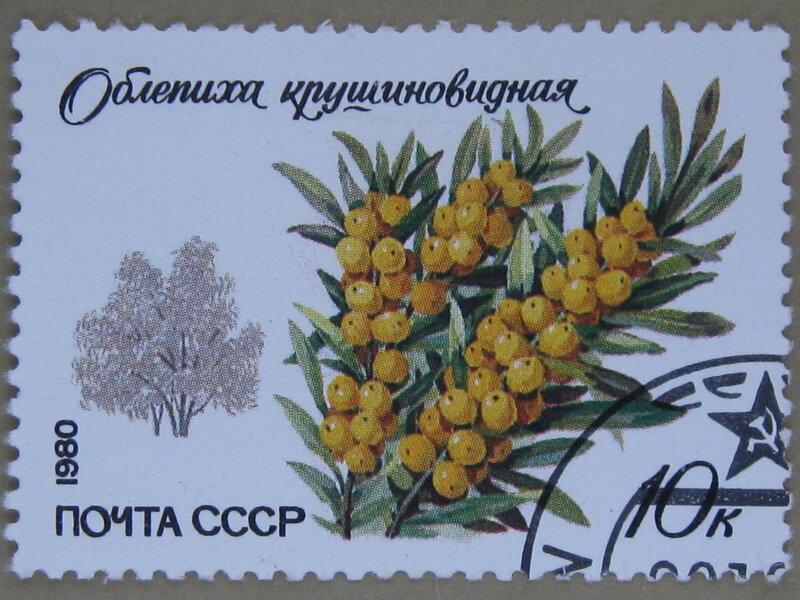 Облепиха крушиновидная (Hippophae rhamnoides).