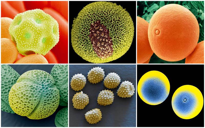 Пыльца под микроскопом (16 фото)