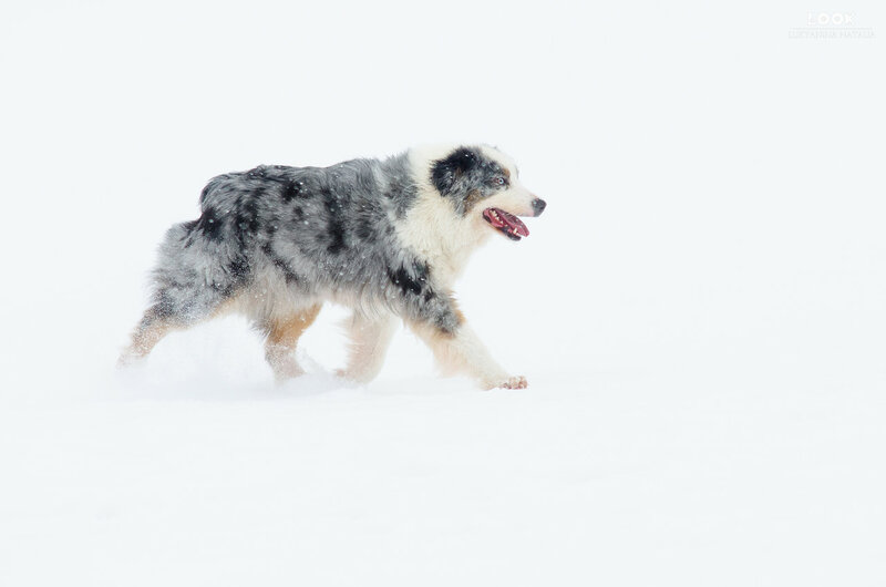 Мои собаки: Зена и Шива и их друзья весты - Страница 6 0_a7704_37d1b341_XL