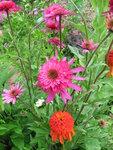Echinacea Southern Belle (2).JPG