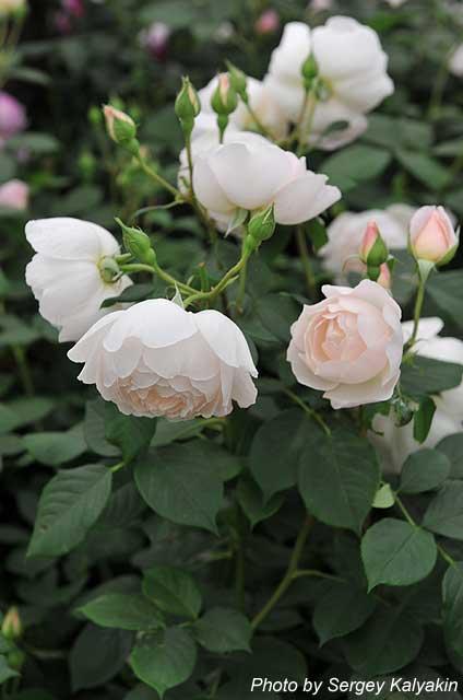 Rosa Desdemona (1).JPG