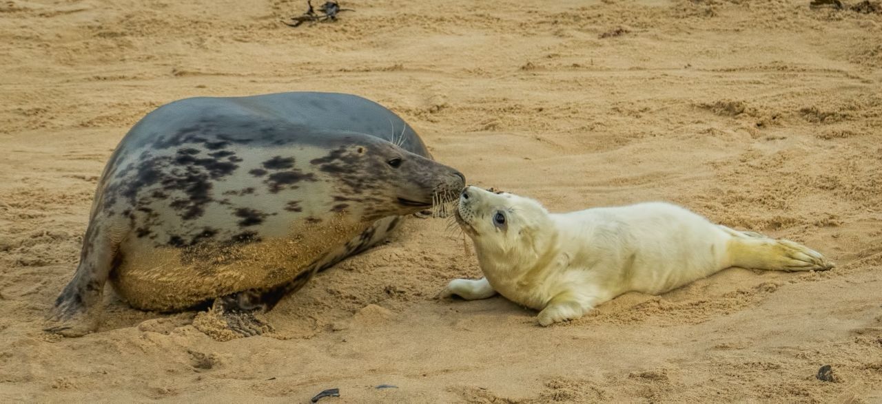 GREY SEAL MOTHER & PUP