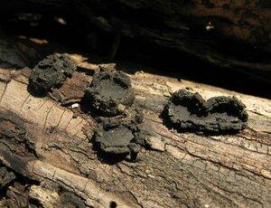s:аскомицеты,c:черные,c:серые,i:деревообитающие,f:блюдца